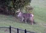 271 - White-tailed Buck.JPG