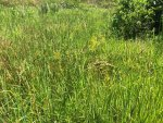 Pike Pond Millet B small 20190727.JPG